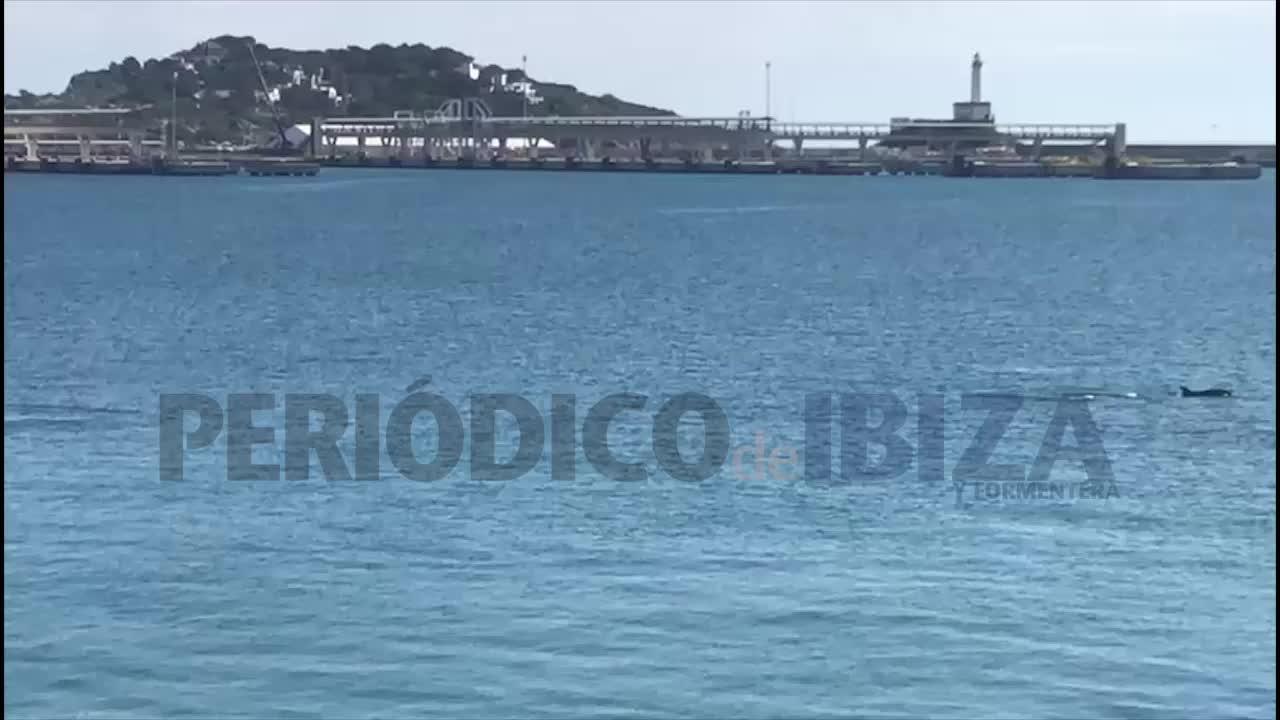 VÍDEO | Delfines en el puerto de Ibiza