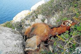 La asociación Basta Ya se ofrece a pagar la extracción de las cabras vivas de es Vedrà de manera íntegra