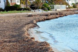 Posidonia: de residuo a elemento natural de las playas